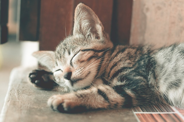 alimentation du chaton