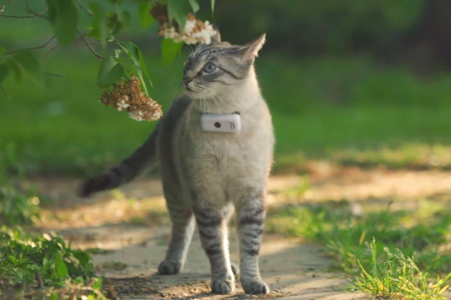 collier Gps sur un chat